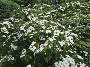 Cornus kousa 'Miss Petty'