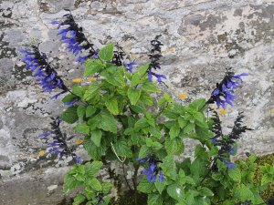 Salvia 'Black and Blue'