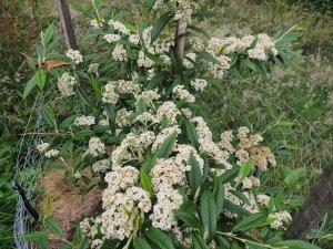 Cotoneaster 'Rothschildianus'