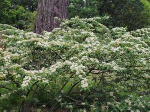 Cotoneaster 'Exburiensis'