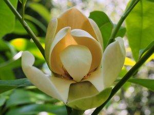 Magnolia tamaulipana