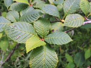 subsp. tenuis