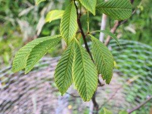 subsp. cuneifolia