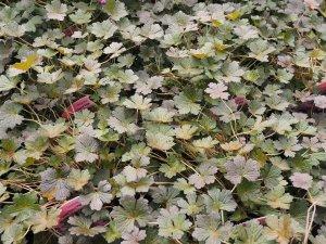 Geranium 'Orkney Cherry'