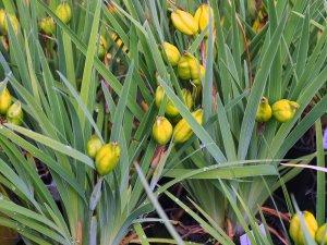 Iris hookeri