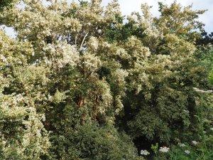 Luma apiculata 'Glanleam Gold'