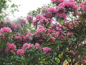 Harrow hybrid rhododendrons