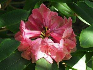 Harrow hybrid rhododendron