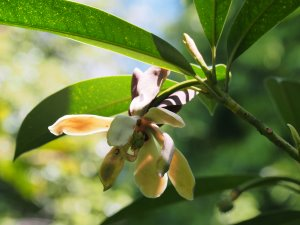 Magnolia (Manglietia) yuyuanensis