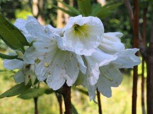 Rhododendron serotinum