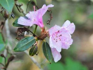 Rhododendron zaluanicum