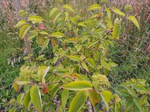 Cornus asperifolia var. drummondii 'Sunshiny Drops'