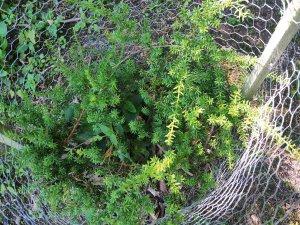 Podocarpus 'Green Queen'