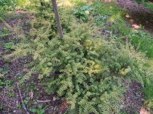 Podocarpus 'Jill'