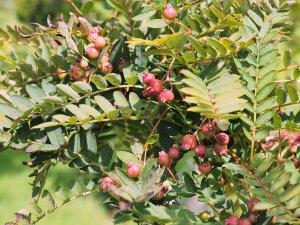 Sorbus gongashica