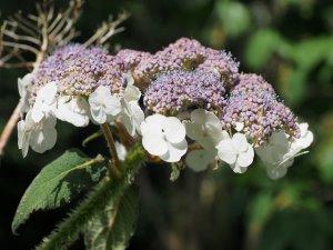 Hydrangea aspera subsp. sargentiana