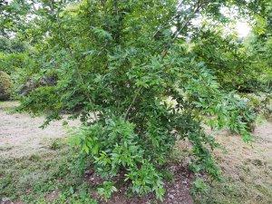 Cotoneaster glomeratus