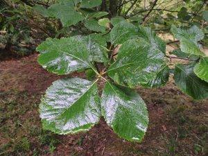 Sorbus cyclophylla