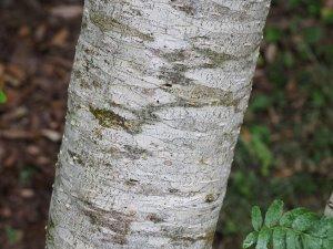 Sorbus tianschanica