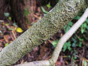 Bowkeria citrodora