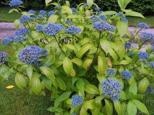 Dichroa 'Cambridge Blue'