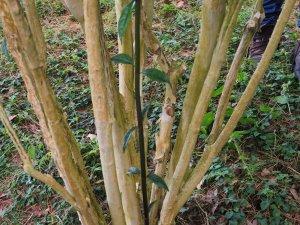 Hydrangea angustipetala