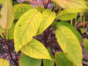 Hydrangea aspera ssp. robusta 'Titania'