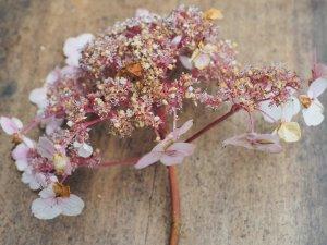 Hydrangea aspera villosa – from Roy Lancaster