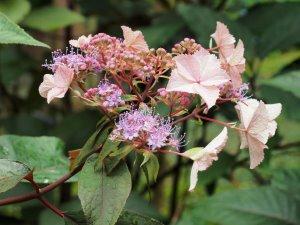 Hydrangea aspera villosa – Gongshan