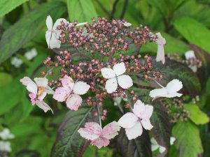 Hydrangea chinensis aff. (Wilson collection)