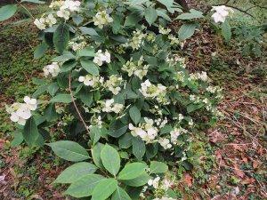 Hydrangea chinensis aff