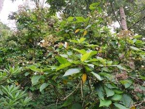 Hydrangea species unknown