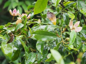 Magnolia crassipes