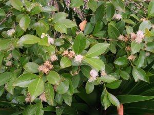 Psidium cattleanum