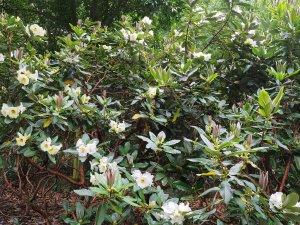 Rhododendron nuttallii