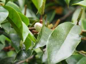 Magnolia x foggii 'Allspice'