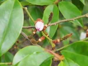 Magnolia x foggii 'Jack Fogg'