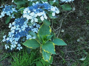 Hydrangea 'Quadricolor'