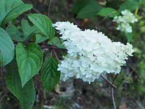 Hydrangea paniculata 'Vanille Fraise'