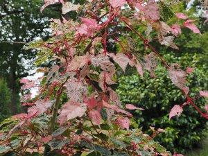 Acer x conspicuum 'Silver Cardinal'