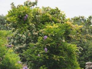 Eucryphia glutinosa covered by Wisteria sinensis