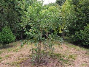 Viburnum triphyllum
