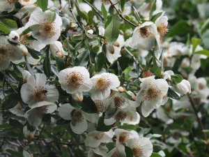 Eucryphia x nymansensis 'Nymansay'