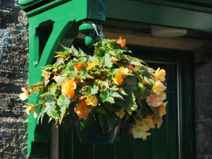 hanging basket begonias