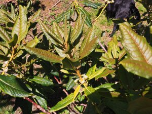 Rhododendron excellans