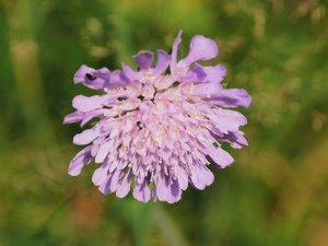Knautia arvensis