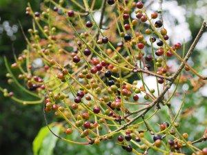 Prunus perulata