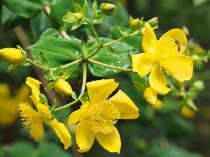Hypericum lancasteri