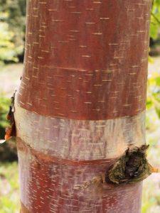 Betula utilis subsp. albosinensis