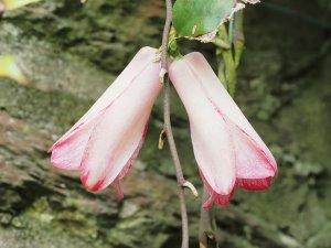 Lapageria rosea 'Picotee'